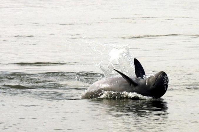 اتحاد دولي: الدلافين الآسيوية على شفا الانقراض