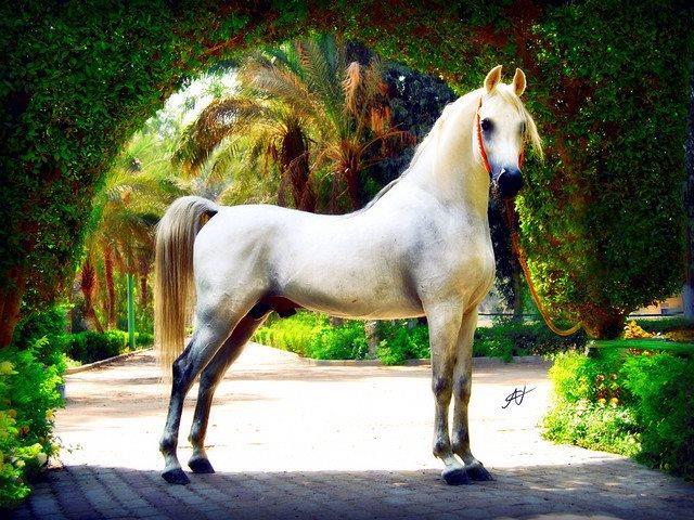 """الحصان """"تجويد"""""""